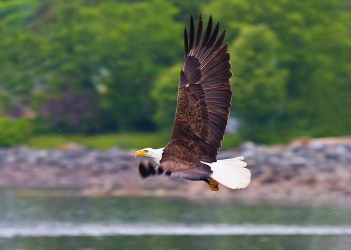 Eagle Greeting Card featuring the photograph Fishing In The Rain by Mike Dawson