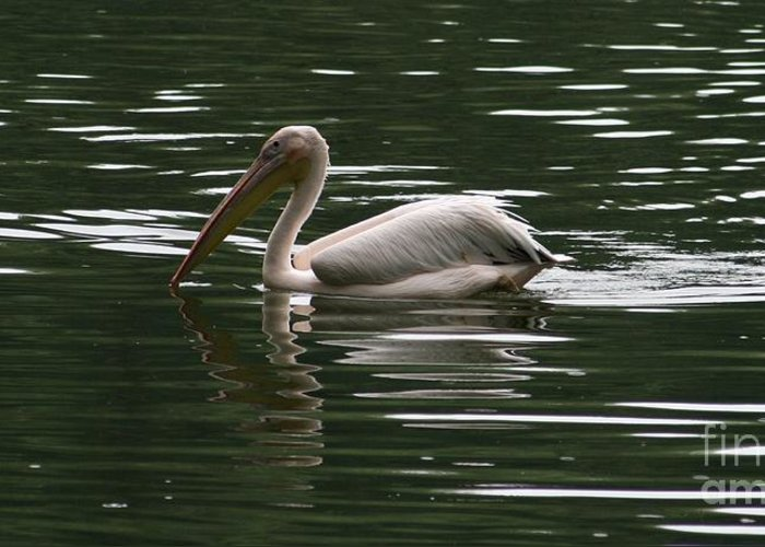 Nature Greeting Card featuring the photograph Fishing Pelican by Valia Bradshaw