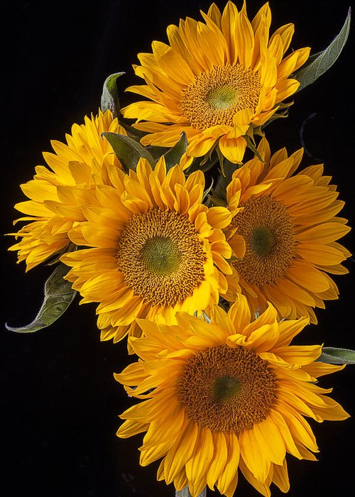 Five Greeting Card featuring the photograph Five Sunflowers by Garry Gay