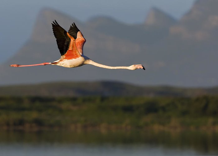 Flamingo Greeting Card featuring the photograph Flamingo Flight by Basie Van Zyl