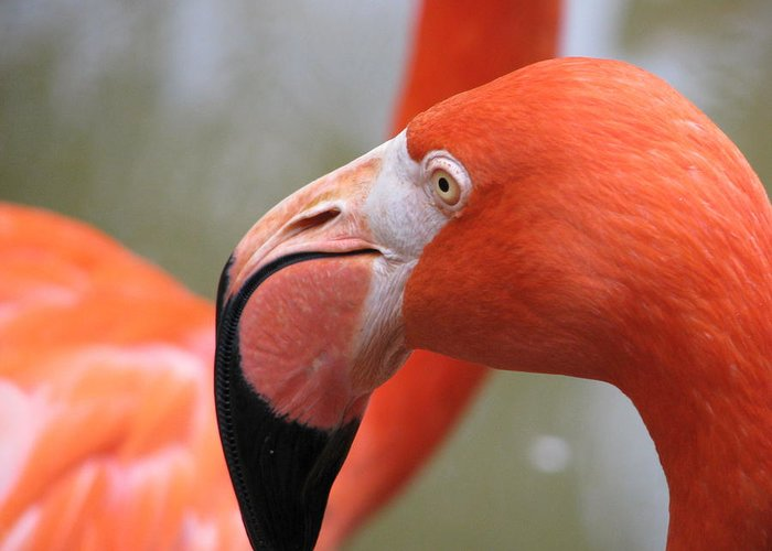 Florida Greeting Card featuring the photograph Flamingo Folly by Staci-Jill Burnley