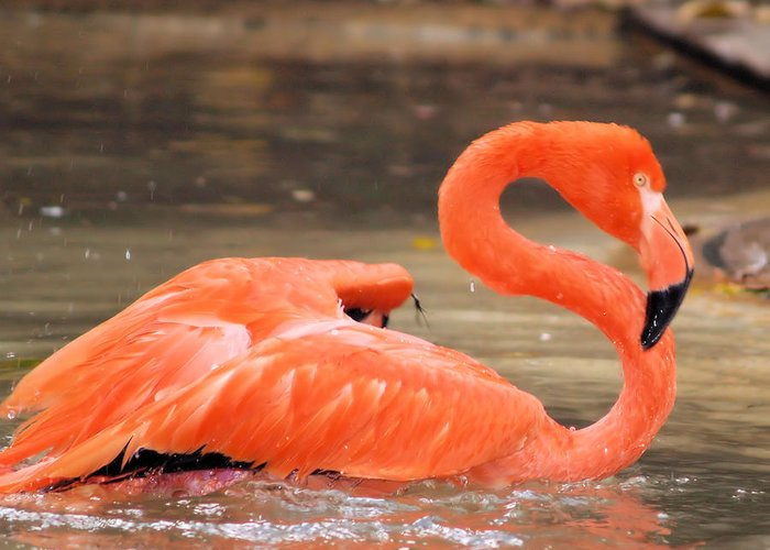 Flamingo Greeting Card featuring the photograph Flamingo by Gaby Swanson