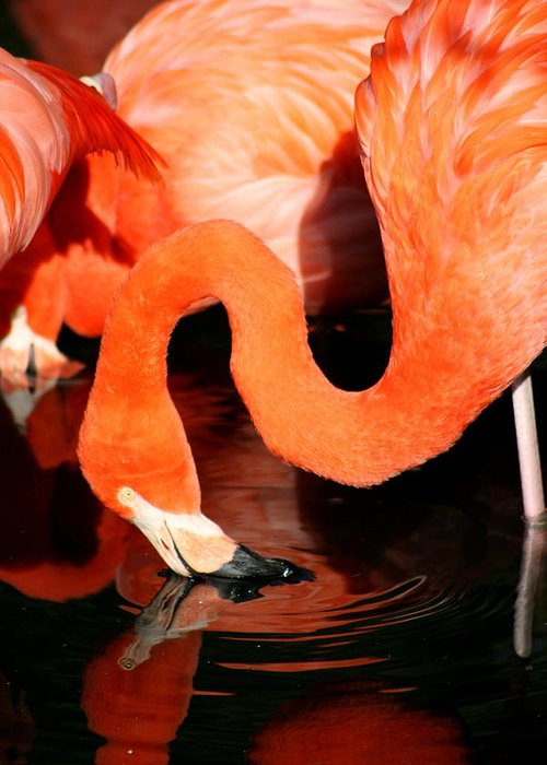 Pink Greeting Card featuring the photograph Flamingo Taking A Dip by David Dunham