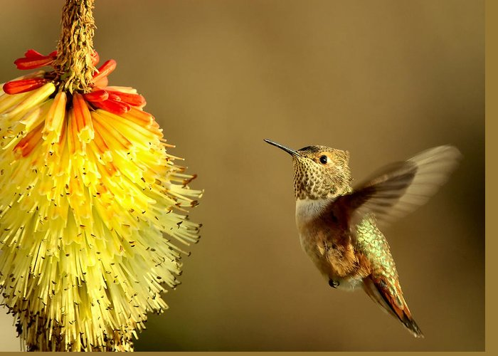 Hummingbird Greeting Card featuring the photograph Flight Of The Hummer by Mike Dawson