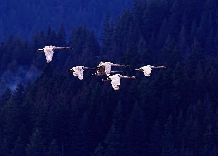 Swan In Flight Greeting Cards