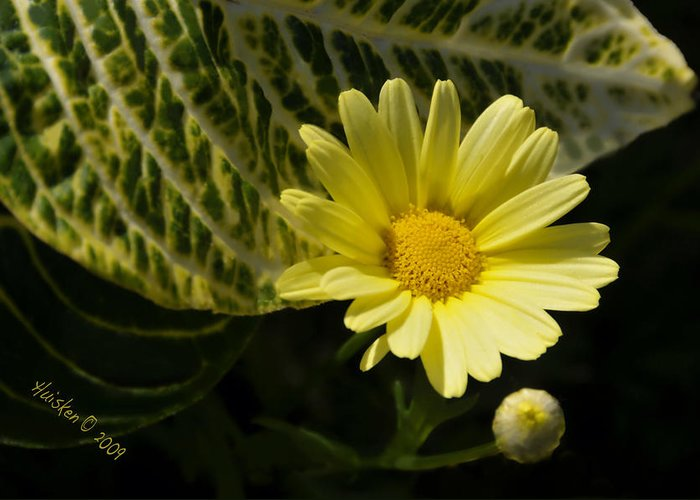 Daisy Greeting Card featuring the photograph Floating Daisy by Lyle Huisken