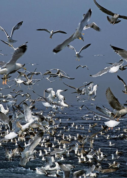 Chaos Greeting Card featuring the photograph Flock Of Seagulls In The Sea And In Flight by Sami Sarkis