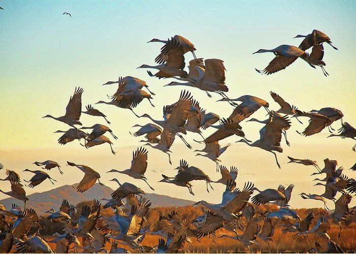 Nature Greeting Card featuring the photograph Liftoff, Sandhill Cranes by Zayne Diamond Photographic