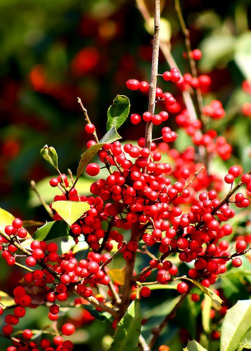 Winter Greeting Card featuring the photograph Florida Holly Berry's by Debra Forand