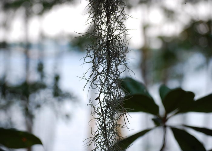 Nature Greeting Card featuring the photograph Florida Moss by Peter McIntosh