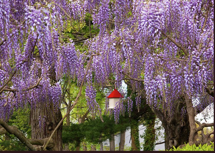 Hdr Greeting Card featuring the photograph Flower - Wisteria - A House Of My Own by Mike Savad