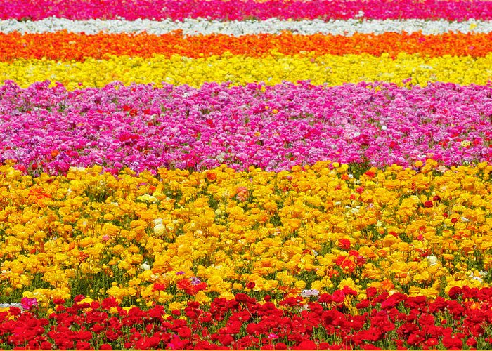 Flower Greeting Card featuring the photograph Flower Fields Carlsbad Ca Giant Ranunculus by Christine Till
