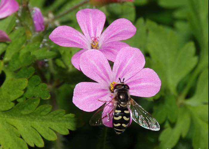 Anther Greeting Card featuring the photograph Flower Fly On Stinky Bob by Marv Vandehey