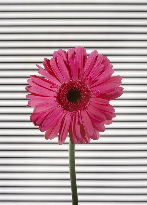 Gerber Daisy Greeting Card featuring the photograph Flower With Lines by Jessica Wakefield