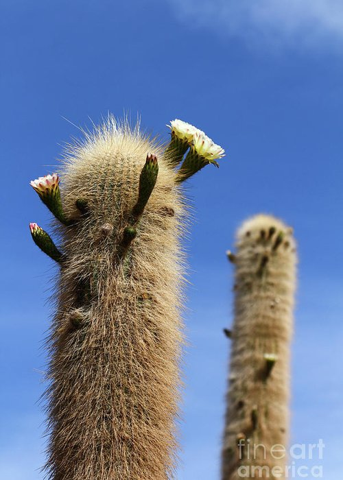 Cactus Greeting Card featuring the photograph Flowering Echinopsis Atacamensis Cactus Bolivia by James Brunker