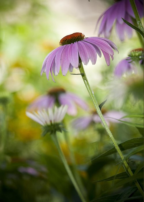 Echinacea Purpurea Greeting Card featuring the photograph Flowers In Bloom by Chad Davis