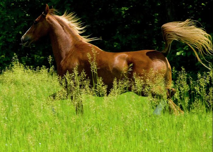 Horse Greeting Card featuring the photograph Flowing Mane by Michael Barry