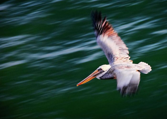 Pelican Greeting Card featuring the photograph Flyby, California Brown Pelican by Zayne Diamond Photographic