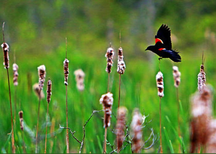 Sun Greeting Card featuring the photograph Flying Amongst Cattails by James F Towne