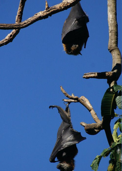 Flying Greeting Card featuring the photograph Flying Foxes In Sydney by Jessica Rose