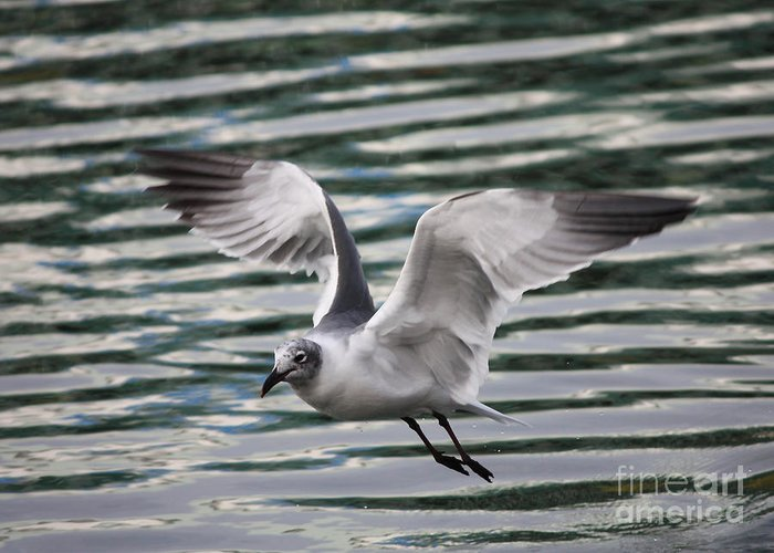 Flying Seagull Greeting Card featuring the photograph Flying Seagull by Carol Groenen