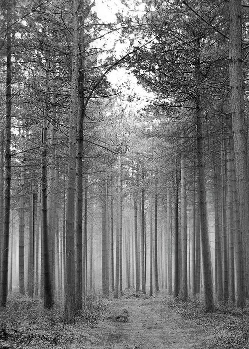 Forest Greeting Card featuring the photograph Foggy Forest by Svetlana Sewell