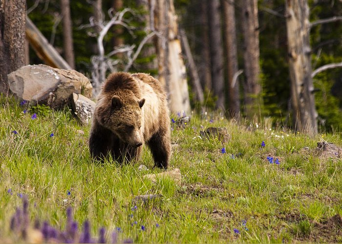 Grizzly Bear Greeting Card featuring the photograph Foraging Grizzly by Chad Davis