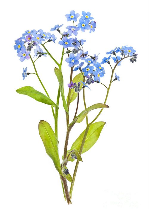 Forget-me-nots Greeting Card featuring the photograph Forget-me-not Flowers On White by Elena Elisseeva