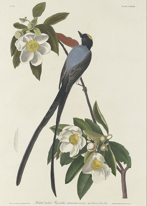 Flycatcher Greeting Cards