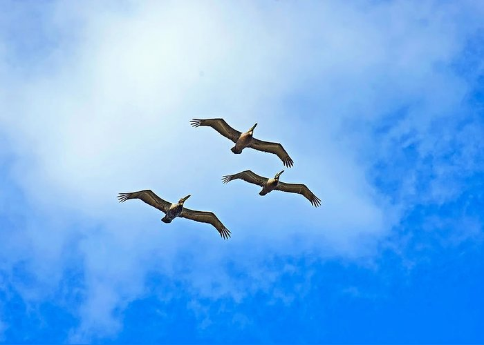 Brown Pelicans Greeting Card featuring the photograph Formation by Robert Brown