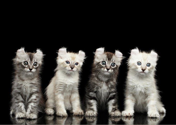 Curl Greeting Card featuring the photograph Four American Curl Kittens with Twisted Ears Isolated Black Background by Sergey Taran
