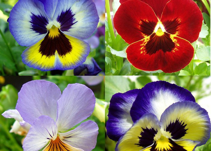 Pansy Greeting Card featuring the photograph Four Pansies by Nancy Mueller