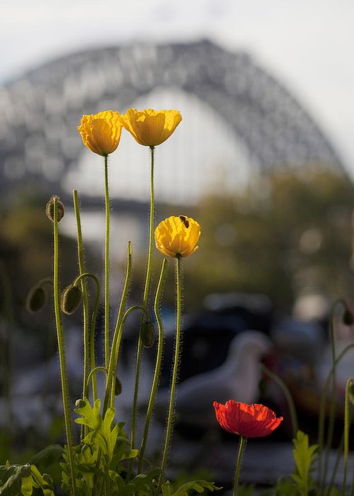 Yellow Poppies Greeting Card featuring the photograph Four Poppies With Harbour Bridge Backdrop by Sheila Smart Fine Art Photography