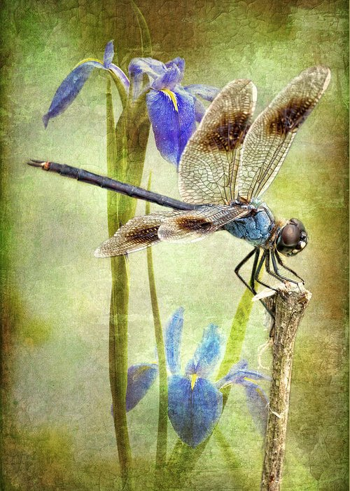 Four Spotted Pennant Dragonfly Greeting Card featuring the photograph Four Spotted Pennant And Louisiana Irises by Bonnie Barry