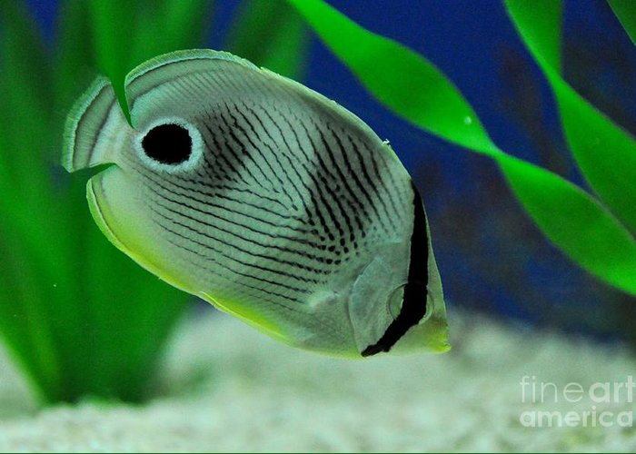 Tropical Fish Greeting Card featuring the photograph Foureye Butterfly Fish by John Black