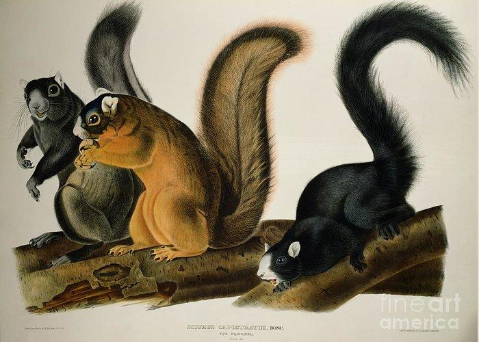 Fox Squirrel Greeting Card featuring the drawing Fox Squirrel by John James Audubon