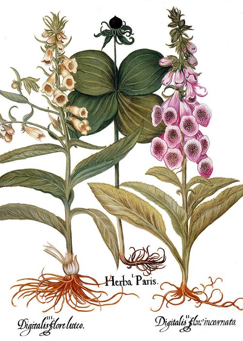 1613 Greeting Card featuring the photograph Foxglove And Herb Paris by Granger