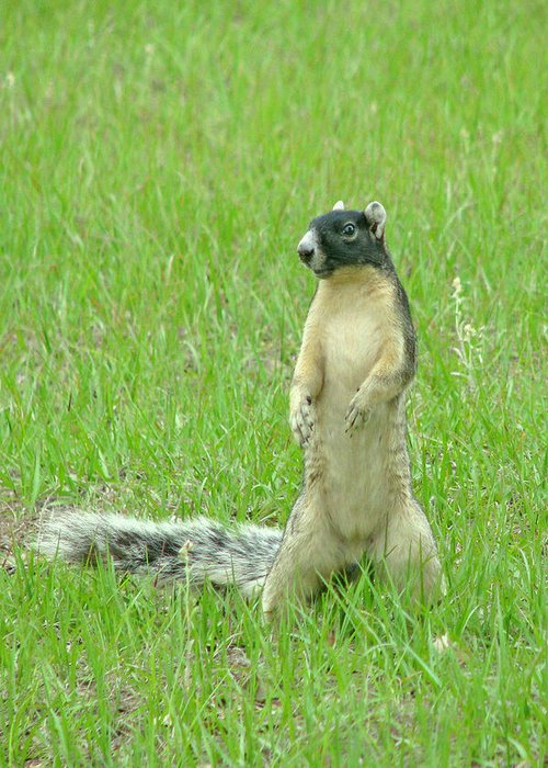 Fox Squirrel Greeting Card featuring the photograph Foxy by Adele Moscaritolo