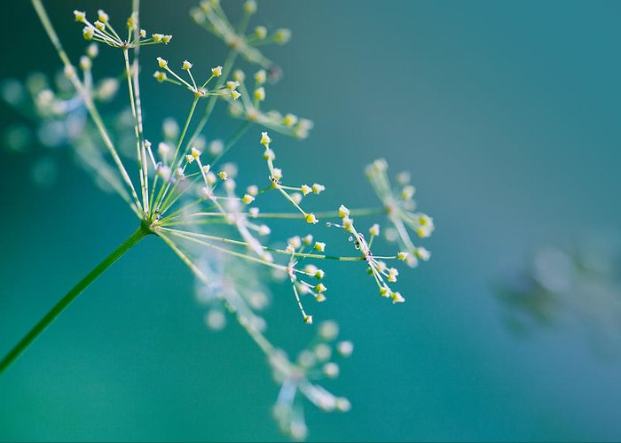 Dill Greeting Card featuring the photograph Fragile Dill Umbels by Nailia Schwarz