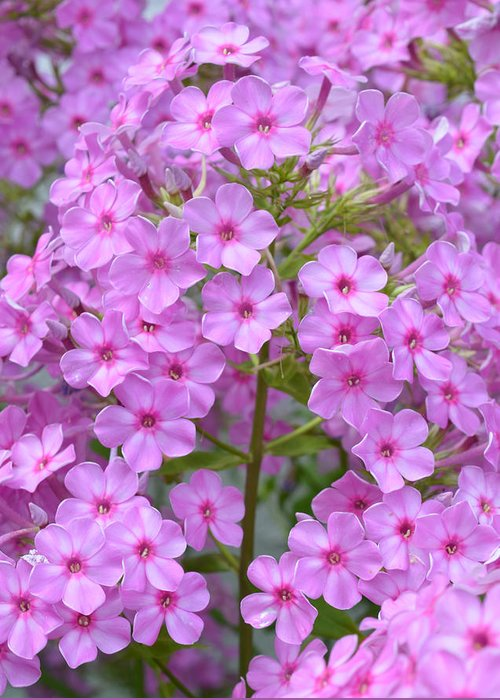 Flowers Greeting Card featuring the photograph Fragrant Phlox by MHmarkhanlon