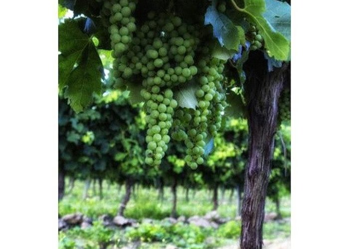 Vineyard Greeting Cards