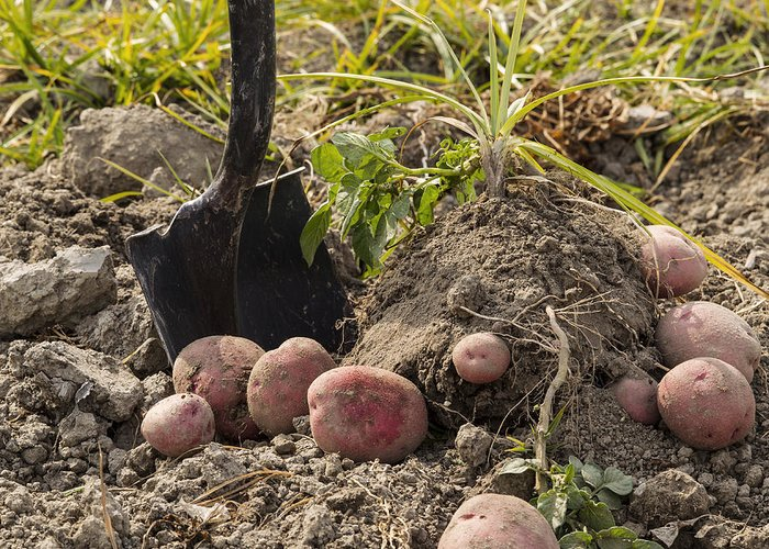 Agricultural Greeting Card featuring the photograph Fresh Red Potatoes On Ground by Thomas Baker