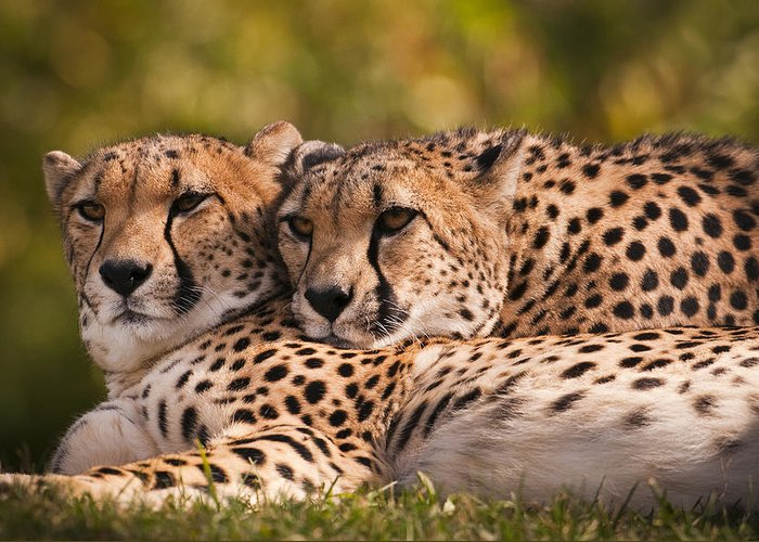 Cheetah Greeting Card featuring the photograph Friends Forever by Chad Davis