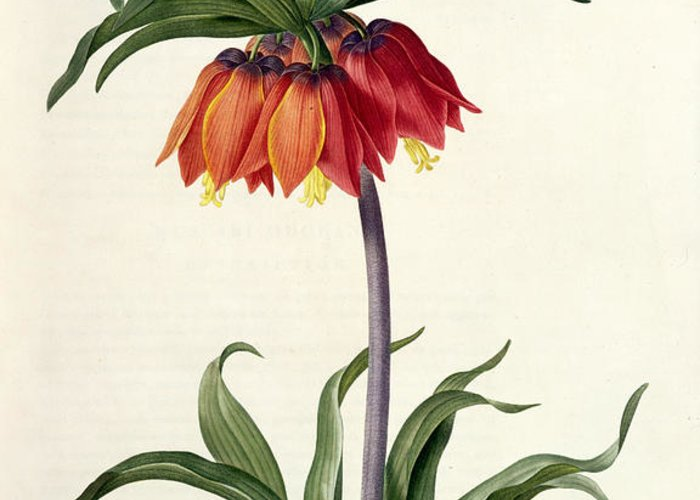Fritillaria Greeting Card featuring the drawing Fritillaria Imperialis by Pierre Joseph Redoute