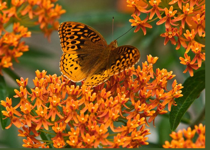 Frittalary Greeting Card featuring the photograph Frittalary And Milkweed by Douglas Barnett