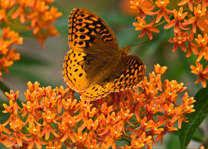 Frittalary Greeting Card featuring the photograph Frittalary Milkweed And Life by Douglas Barnett