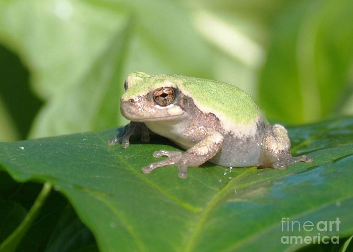 Frogs Greeting Card featuring the photograph Froggie In The Pepper Patch by Krista Kulas