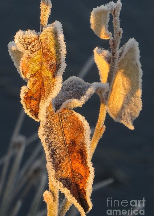 Frost Greeting Card featuring the photograph Frosty Fringe by Frank Townsley