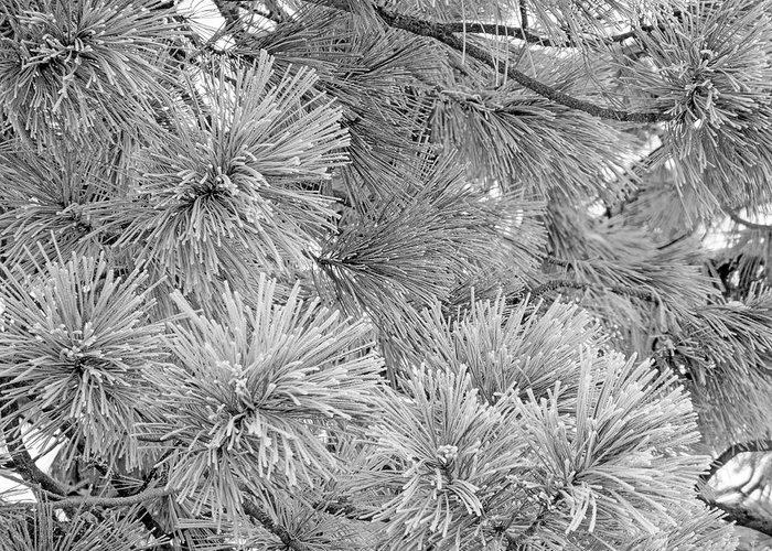 Frost Greeting Card featuring the digital art Frosty Pine Tree by Casey Heisler