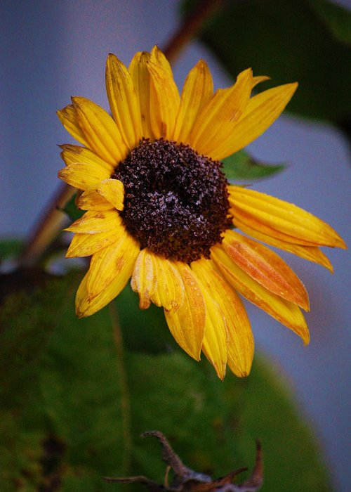 Flower Greeting Card featuring the photograph Frosty Sunflower by Jame Hayes